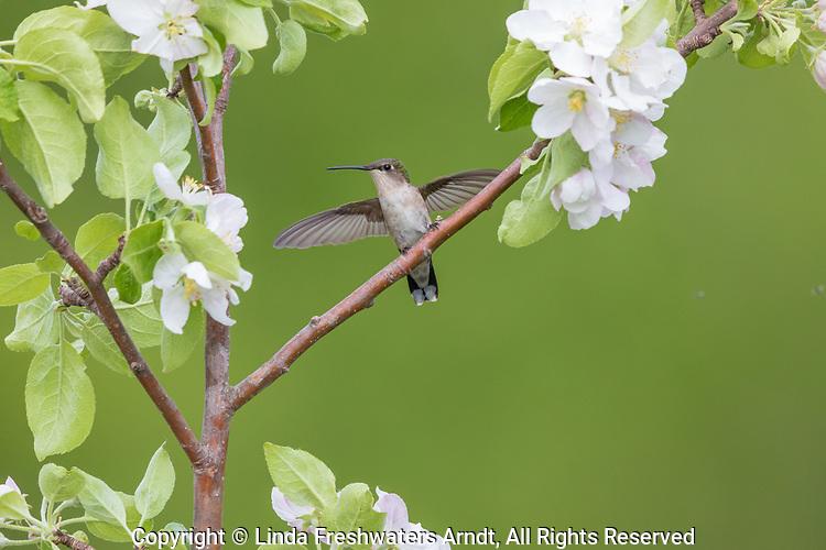 Female ruby-throated hummingbird in northern Wisconsin.
