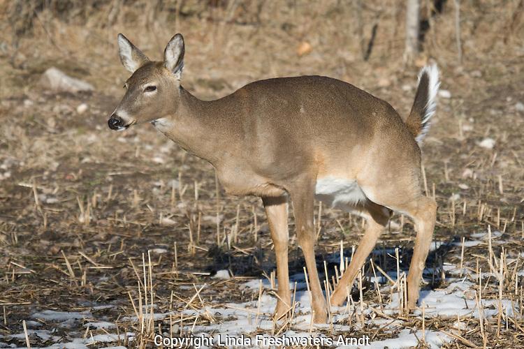 White-tailed deer - doe urinating