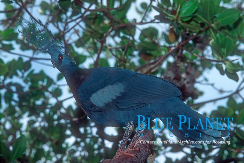 Victoria Crowned Pigeon, Goura victoria, White-tipped Crowned Pigeon, White-tipped Goura, Victoria Goura. Mambruk, Loloata island, Port Moresby, Natiaonal Capital District Province, Papua New Guinea