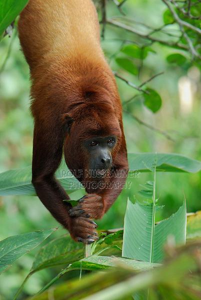 Red Howler Monkey (Alouatta seniculus), adult hanging, Iquitos, Peru