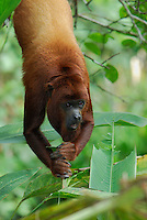 Red Howler Monkey (Alouatta seniculus), adult hanging, Iquitos, Peru