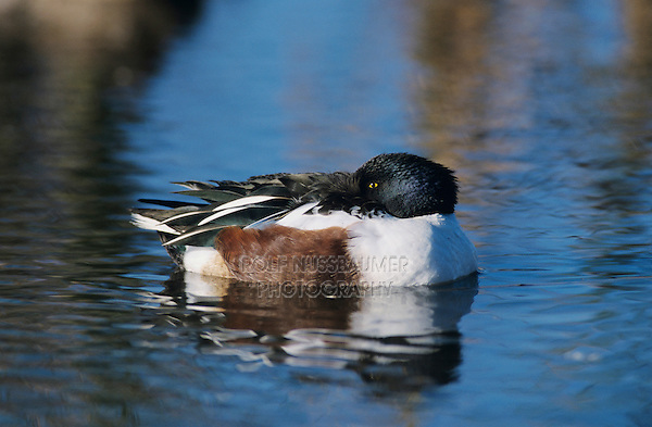 Northern Shoveler, Anas clypeata,male sleeping, Port Aransas, Texas, USA