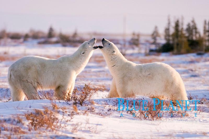 Male Polar Bears, Ursus maritimus, beginning to engage in ritualistic mock fighting (serious injuries are rare), near Churchill, northern Manitoba, Hudson Bay, Canada, polar bear, Ursus maritimus