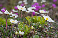 Mountain aven and lapland rosebay, early blooming flowers decorate the tundra of the Arctic, Alaska.