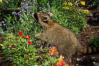 Raccoon, Procyon lotor, sniffs in blooming summer flower garden for something to eat, Missouri USA
