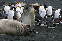 Southern Elephant Seal pups with Royal Penguins on Macquarie Island