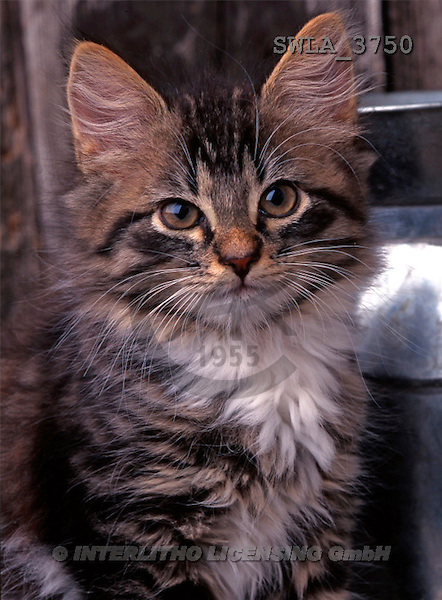 Carl, ANIMALS, photos(SWLA3750,#A#) Katzen, gatos