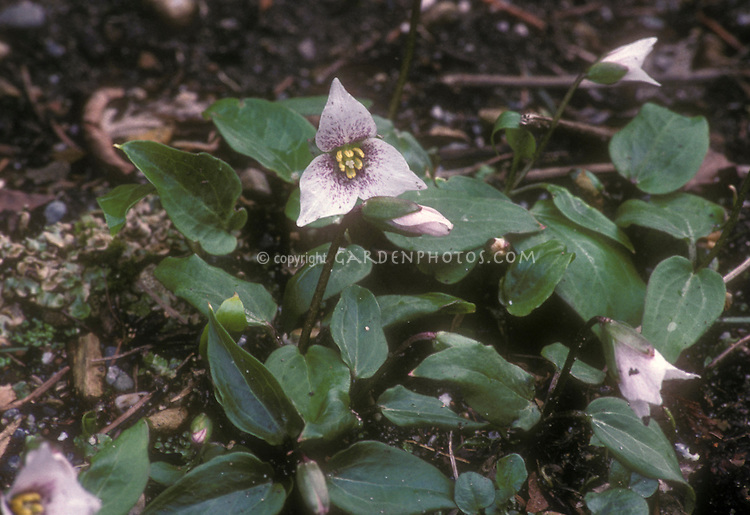 Trillium rivale selected form. with pinkish white flowers and red markings in spring bloom