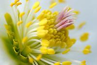 Kerstroos (Helleborus niger)