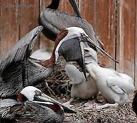 0305-0854  Brown Pelican Feeding Young, Pelecanus occidentalis © David Kuhn/Dwight Kuhn Photography.
