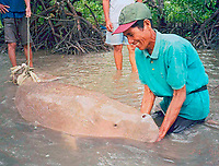 researcher with dugong, Dugong dugon,