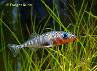 1S12-565z   Male Threespine Stickleback,  Mating colors showing bright red belly and blue eyes,  Gasterosteus aculeatus,  Hotel Lake British Columbia