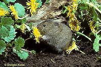 MU30-008z  Meadow Vole - several weeks old, eating dandelion flower - Microtus pennsylvanicus