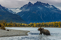 Fall landscape of grizzly bear on Crescent Lake with Chigmit Mountains and glacier in background in Lake Clark National Park, Alaska   Fall<br /> <br /> Photo by Jeff Schultz/SchultzPhoto.com  (C) 2018  ALL RIGHTS RESERVED<br /> <br /> 2018 Bears, Glaciers and Fall Colors Photo tour/workshop