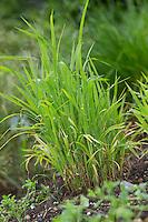 Hühnerhirse, Echinochloa crus-galli, cockspur grass, barnyard millet, Japanese millet, water grass, common barnyard grass, Le Panic des marais, le Pied-de-coq, le Panic pied-de-coq