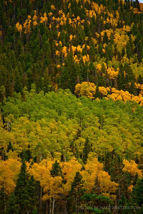 Aspen fall leaves, Taos Ski basin.