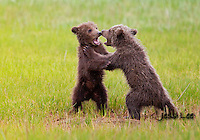 A photo of two Alaska grizzly cubs play fighting in the grass. Grizzly Bear or brown bear alaska Alaska Brown bears also known as Costal Grizzlies or grizzly bears Grizzly Bear Photos, Alaska Brown Bear with cubs. Purchase grizzly bear fine art limited edition prints here Grizzly Bear Photo Bear Photos,