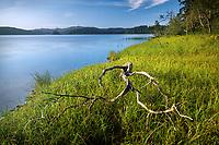 Branched dead tree on shore of Lake Ozette at sunrise, Tivoli Island, Lake Ozette, Olympic National Park, Washington, USA