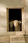 Sheep Ranch Leppys
