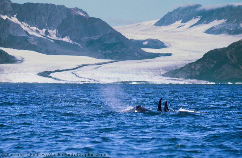 Orca swims in Resurrection Bay, Bear glacier, Kenai Fjords National Park, Alaska