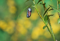 Monarch (Danaus plexippus), adult emerging from chrysalis, Hill Country, Texas, USA