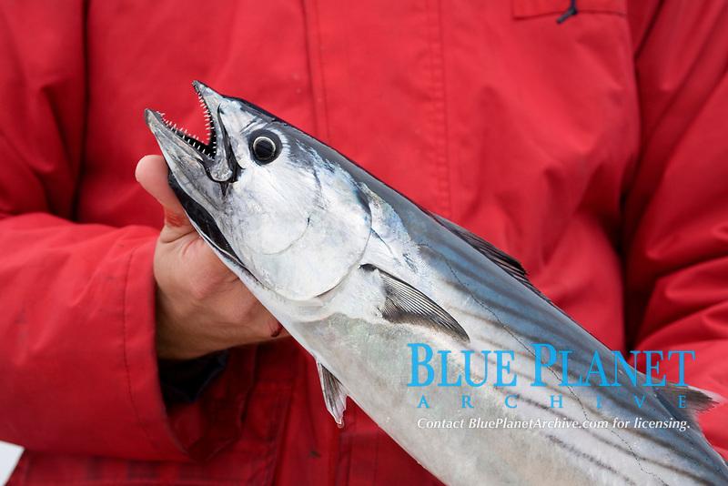 Pacific bonito, Sarda chiliensis, caught on live sardine, Baja California, Mexico, pacific ocean