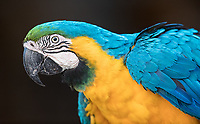 We were fortunate to see a number of macaw species in the Amazon and the Pantanal. This Blue and yellow macaw was in the Pantanal, even though the species isn't typically found there. It was likely a released rescue.