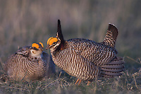 Lesser Prairie-Chicken, Tympanuchus pallidicinctus, males fighting, Canadian, Panhandle, Texas, USA