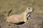 A black-tailed prairie dog looks out of its burrow in Custer State Park, South Dakota.