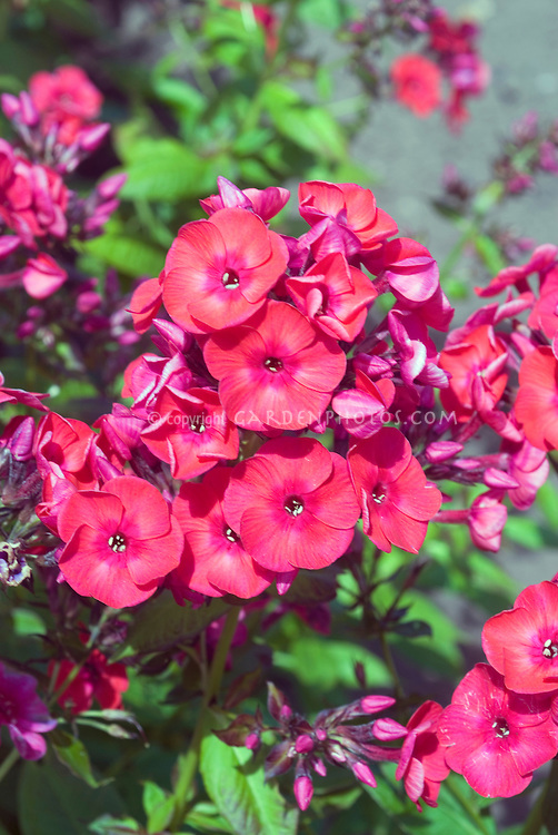 Phlox paniculata Peacock Neon Rose