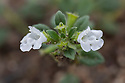 Basil Thyme (Clinopodium acinos), less common white form. Back from the Brink 'Shifting Sands' project, Suffolk, UK. July.
