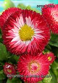 Gisela, FLOWERS, BLUMEN, FLORES, photos+++++,DTGK2482,#f#, EVERYDAY
