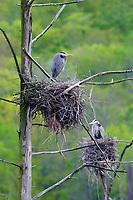 Adult Great Blue Herons (Ardea herodias) at nests. Tompkins County, New York. May.