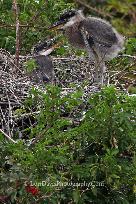 Great Blue Heron Chicks in Nest  #H18