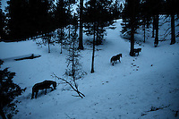 Wild Horses struggle to find food in the snow packed mountains of Ochoco National Forest in eastern Oregon. About 60 mustangs that are remnants of Indian and settlers horses roam the Big Summit Horse Territory.