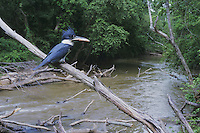 Belted Kingfisher (Megaceryle alcyon), adult with fish prey, Neuse River, Raleigh, Wake County, North Carolina, USA