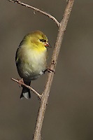 American Goldfinch in Winter's plumage.