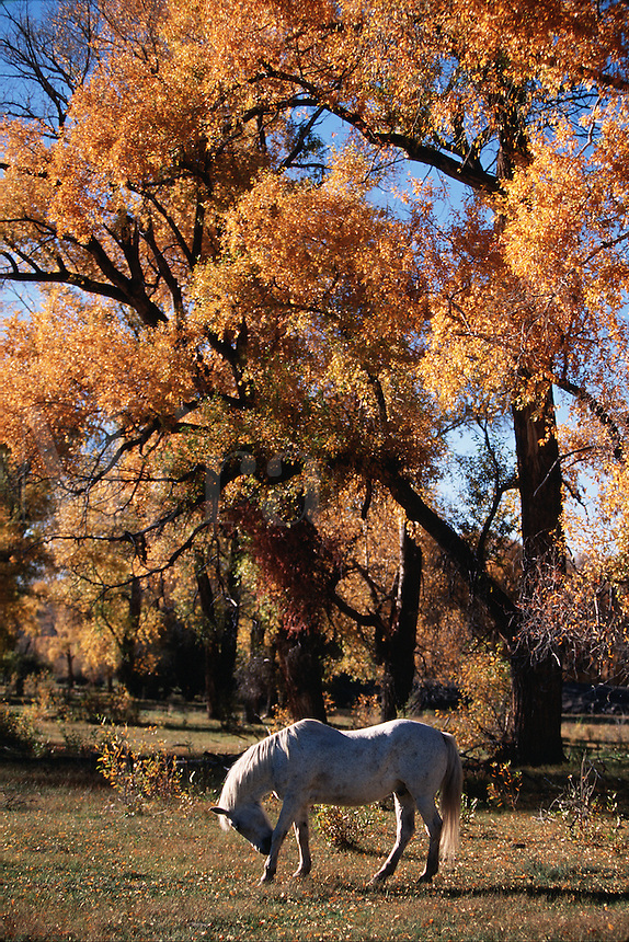 A horse playfully stamps the ground under the golden fall foliage of a cottonwood tree.