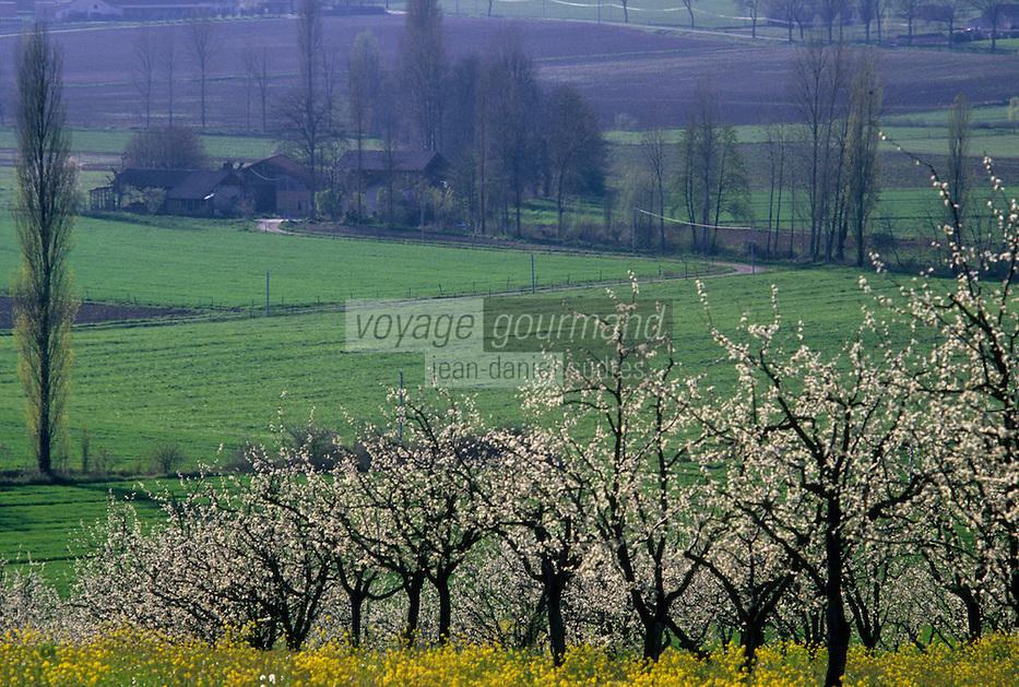 Europe/France/Aquitaine/47/Lot-et-Garonne/Env Tournon-d'Agenais : Verger de pruniers