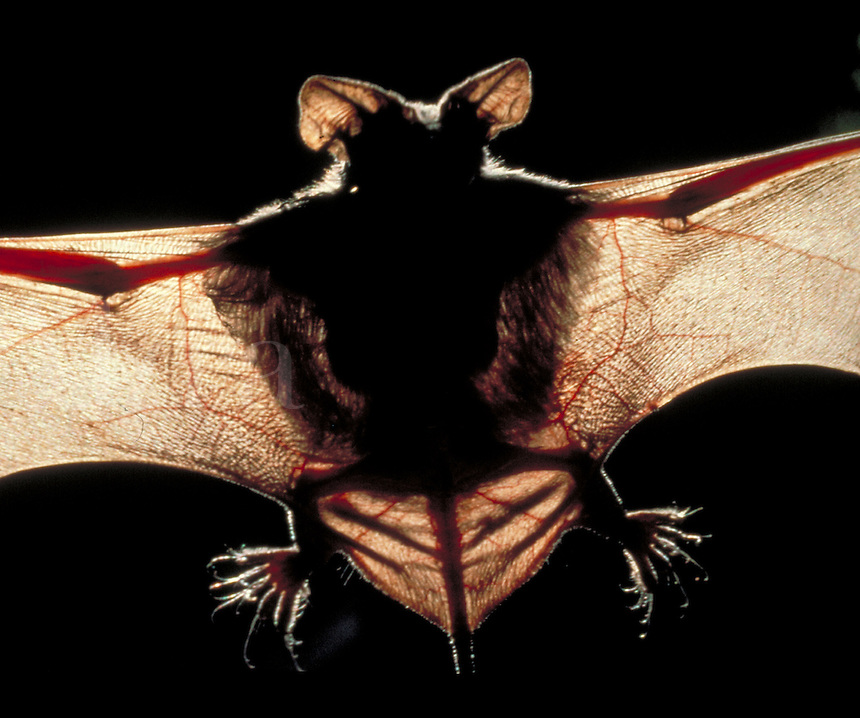 Extreme close up silhouette of a Mexican Freetailed bat with wings spread in flight, bats    RB 0486011. Aw Ma Ba . Bracken Bat Cave.