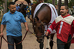DEL MAR, CA. AUGUST 12:  #1 Run Away entering the paddock before the Best Pal Stakes (Grade ll) on August 12, 2017, at Del Mar Thoroughbred Club in Del Mar, CA.(Photo by Casey Phillips/Eclipse Sportswire/Getty )