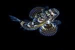 Flying Gurnard juvenile, Dactylopterus volitans, Black Water Diving; Gulf Stream Current; Jellyfish; Plankton; SE Florida Atlantic Ocean; larval fish; pelagic larval marine life; plankton creatures