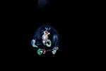 Anthomedusa, Anthoathecata, Cytaeis tetrastyla, Family Cytaeididae Jellyfish, Black Water diving over Gulf stream Current; Plankton; SE Florida Atlantic Ocean off Singer Island 5 miles due south.; larval fish; pelagic larval marine life; plankton creatures