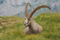 Alpine Ibex (Capra ibex), buck sitting, Niederhorn, Interlaken, Switzerland