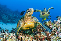 green sea turtle, Chelonia mydas, at cleaning station, Maui, Hawaii, USA, Pacific Ocean
