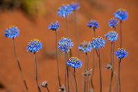 Unidentified wild flowers at Neale Junction Nature Reserve in Western Australia