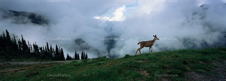 High on sub-alpine ridges near Obstruction Point and Hurricane Ridge, winds shift the fog to reveal a glimpse of a Columbian black tail deer. Wildlife has room to roam in the park, which covers 922,651 acres. <br /> Congress designated 95% of Olympic National Park as wilderness in 1988. Human contact is minimal: There are no through roads, only <br /> spurs to trails for hiking and horseback riding.