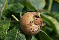 Medlar fruit closeup of Mespilus germanica 'Nottingham'