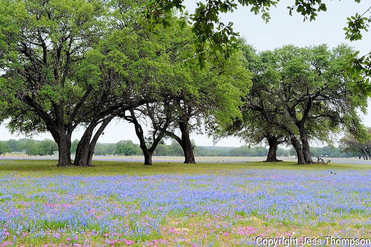 Bluebonnet Flowers, San Antonio, TX