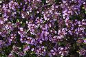 Wild / Creeping Thyme {Thymus polytrichus} Nordtirol, Austrian Alps. June.